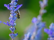 Bee insect macro closeup in lavender flower. Wildlife bee insect macro closeup lavender flower nature stock images