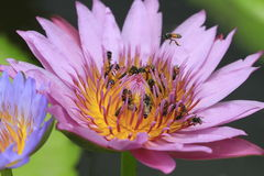 bee insect on waterlily macro Royalty Free Stock Image