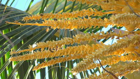 Bee insects pollinating on a coconut tree flowers stock footage