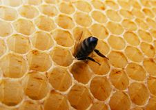 Bee inside honeycomb cell. Bee looking for honey inside the cell Royalty Free Stock Photography