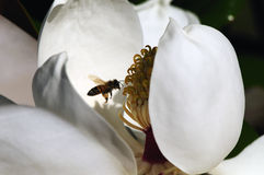 Bee inside Magnolia Blossom Stock Image