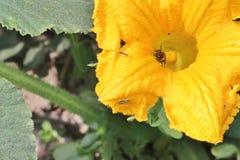 Bee inside pumpkin flower. Closeup of a bee inside a yellow blooming pumpkin flower royalty free stock photography