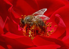 Bee inside red rose Royalty Free Stock Photo