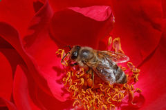 Bee inside red rose Stock Images