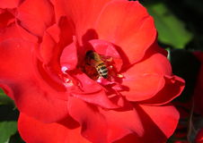 The bee inside the red rose Stock Photo