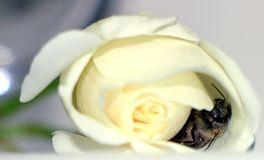 The bee inside the white rose. stock photos