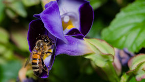 Bee Inspecting Purple Flower Stock Photography