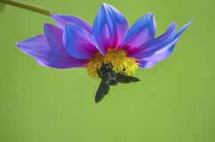 Bee on an inverted flower bed searching for food in a garden isolated from background royalty free stock photography