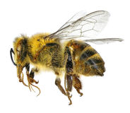 Bee isolated Royalty Free Stock Photo