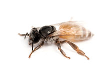 Bee isolated Royalty Free Stock Image