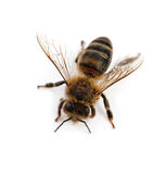 Bee isolated Royalty Free Stock Photos