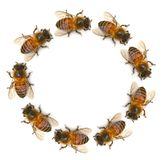 Bee isolated on white background.  royalty free stock images
