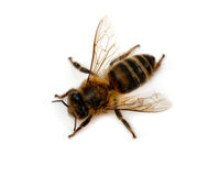 Bee isolated Stock Photos