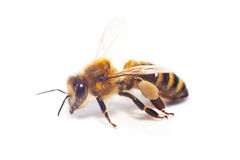 Bee isolated on the white. Background royalty free stock image