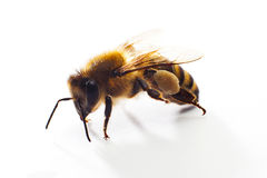 Bee isolated on the white. Background royalty free stock photos