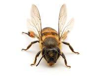 Bee isolated on white background. Macro shots of Bee isolated on white background with stacked focus stock photo