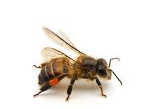 Bee isolated on white background. Macro shots of Bee isolated on white background with stacked focus stock images