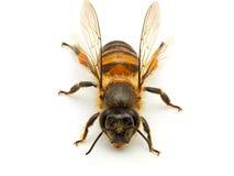Bee isolated on white background. Macro shots of Bee isolated on white background with stacked focus royalty free stock photo