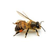 Bee isolated on white background. Macro shots of Bee isolated on white background with stacked focus royalty free stock image