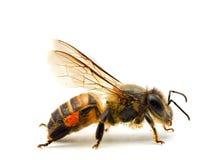 Bee isolated on white background. Macro shots of Bee isolated on white background with stacked focus stock photos