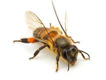 Bee isolated on white background. Macro shots of Bee isolated on white background with stacked focus royalty free stock photos