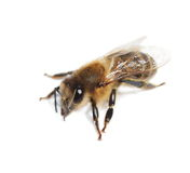 Bee isolated on white Royalty Free Stock Photography