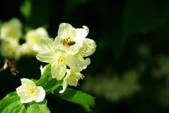 Bee on  jasmine Stock Photos