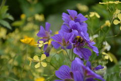 Bee and jolly bee flower. Small bee on the jolly bee flower Royalty Free Stock Photo