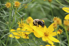Bee. Just always find some others Royalty Free Stock Photos