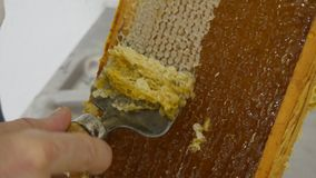 Bee keeper harvesting honey. Artisan bee-keeper open the closed honeycomb to prepare extraction of the honey with a traditional comb by hand royalty free stock image