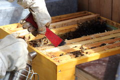 Bee keeper and hive. Bee keeper is working on a bee hive royalty free stock image