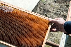 Bee-keeper pulls honeycombs from the beehive. The bee-keeper pulls honeycombs from the beehive stock image