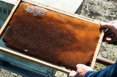 Bee-keeper pulls honeycombs from the beehive. The bee-keeper pulls honeycombs from the beehive stock photo