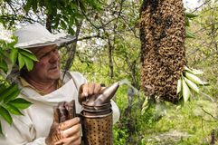 Bee keeper with a swarm of bees. Bee keeper with a swarm of honeybees stock images