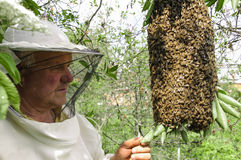 Bee keeper with a swarm of bees. Bee keeper with a swarm of honeybees royalty free stock image