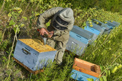 Bee Keeper Working with Bee Hives in a sunflower field Stock Photo