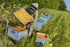 Bee Keeper Working with Bee Hives in a sunflower field Royalty Free Stock Image