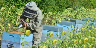 Bee Keeper Working with Bee Hives in a sunflower field Stock Photos