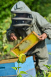 Bee Keeper Working with Bee Hives in a sunflower field Royalty Free Stock Photo