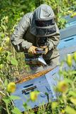 Bee Keeper Working with Bee Hives in a sunflower field Stock Images