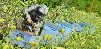 Bee Keeper Working with Bee Hives in a sunflower field Royalty Free Stock Photos
