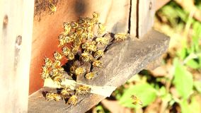 Bee-keeping at Binh Phuoc province, Vietnam. Bees Farm, Zoom in bees at their honey super slow motion, Bee-keeping at Binh Phuoc province, Vietnam. Agriculture stock video