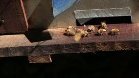 Bee-keeping at Binh Phuoc province, Vietnam. Close up honey bees at beehive entrance reducer in the morning, Bee-keeping at Binh Phuoc province, Vietnam stock video footage