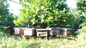Bee-keeping at Binh Phuoc province, Vietnam. Zoom in bees at their honey super slow motion, Bee-keeping at Binh Phuoc province, Vietnam. Agriculture in Binh stock video
