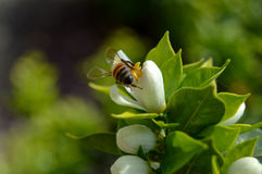 Bee keeping feed by a flower for honey. Catched in Italy while easter was beginning stock photo