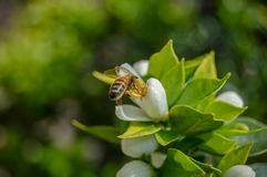 Bee keeping feed by a flower for honey. Catched in Italy while easter was beginning stock image