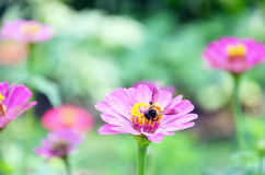 Bee keeping nectar from Cosmos Flower Stock Photo