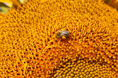 Bee Laden with Pollen on Sunflower Stock Photo