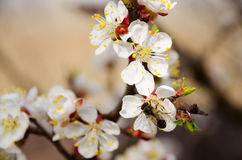 Bee and ladybug on cherry flowers Stock Photo