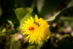 Bee and ladybug on a flower. The collecting pollen. The fine spring. stock photos
